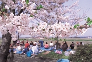 【桜・見ごろ】桜づつみ