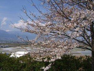 【桜・見ごろ】波場公園