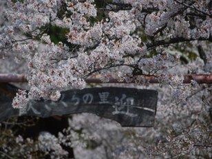 【桜・見ごろ】寺所