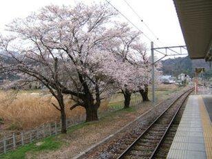 【桜・見ごろ】甲斐岩間駅