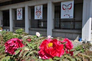 【花・見ごろ】歌舞伎文化公園のぼたん