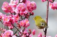 石橋文化センター春の花まつり2018 梅まつり