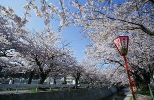 【桜・見ごろ】熊坂川河畔