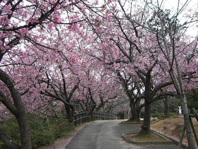 宇美公園の桜