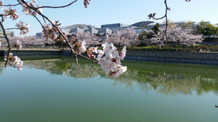 泉の森 桜 week 2017