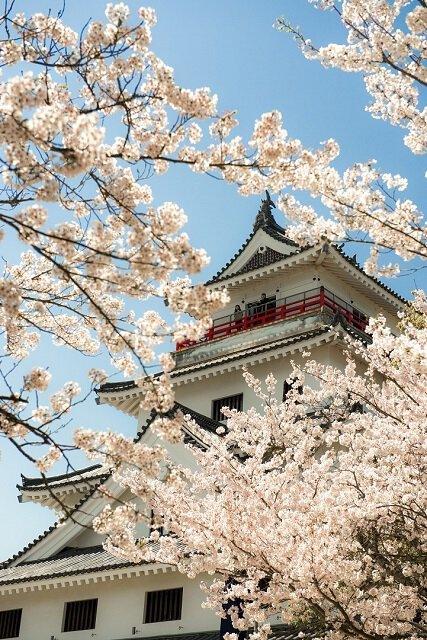 唐津城(舞鶴公園)の桜