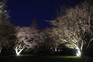 紫雲出山桜ライトアップ