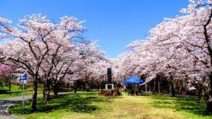 【桜・見ごろ】夜越山森林公園