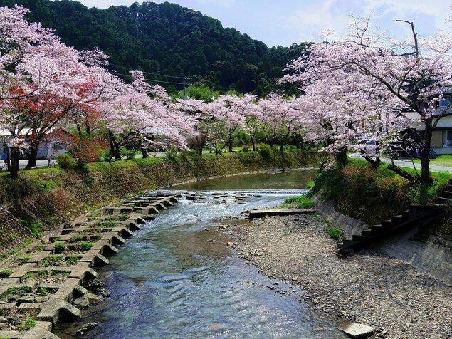 久礼大坂谷川沿いの桜