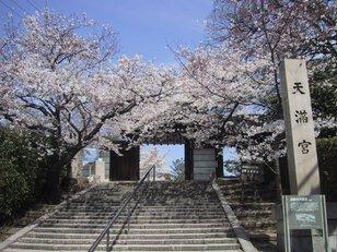 【桜・見ごろ】道明寺天満宮