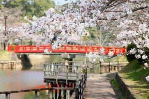 【桜・見ごろ】甘木公園