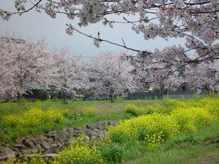 【桜・見ごろ】草場川の桜並木