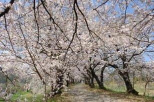 【桜・見ごろ】夕月神社