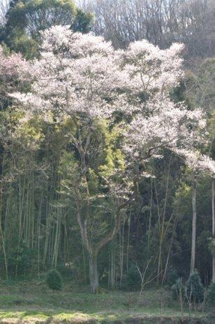 【桜・見ごろ】原田町のエドヒガンザクラ