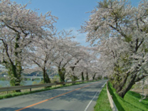 【桜・見ごろ】北上川堤防沿い