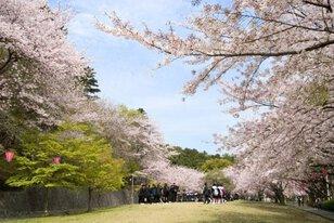 【桜・見ごろ】中央公園(蒲郡市)