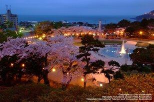 【桜・見ごろ】函館公園