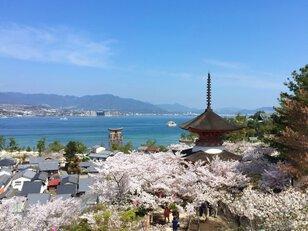 【桜・見ごろ】宮島