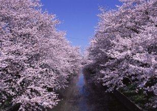 【桜・見ごろ】五条川