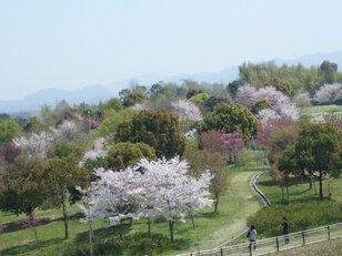 【桜・見ごろ】蜻蛉池公園
