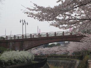 【桜・見ごろ】寝屋川公園