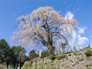 【桜・見ごろ】原間のイトザクラ