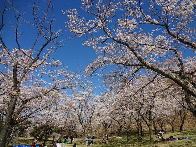 さくらの里の桜