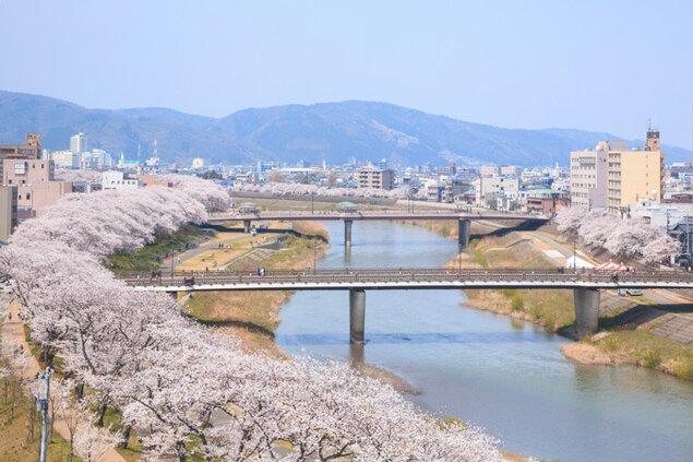 足羽川桜並木の桜