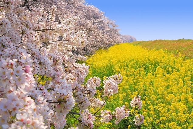熊谷桜堤の桜