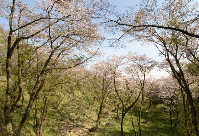 滝山公園の桜