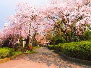 【桜・見頃】榴岡公園