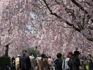 【桜・見頃】東谷山フルーツパーク
