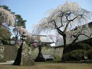 妙義神社しだれ桜