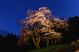 吉良のエドヒガン(桜)