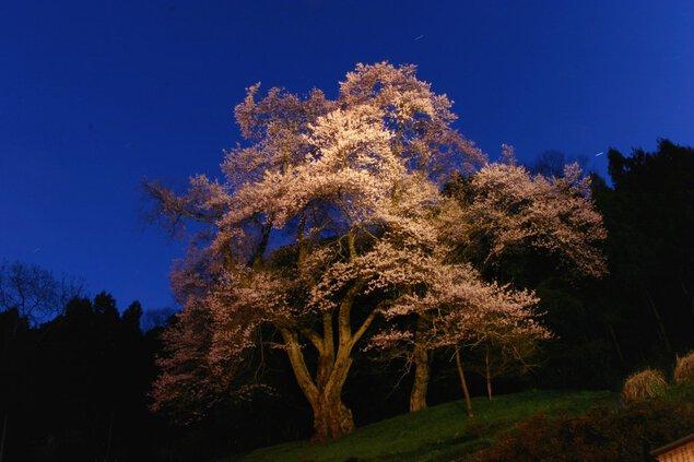 吉良のエドヒガン桜