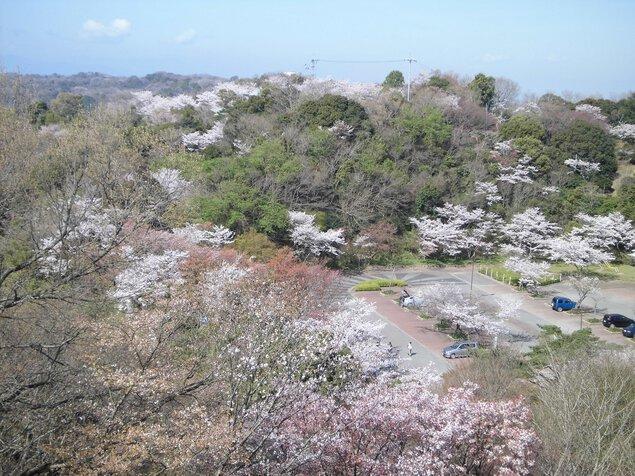 眉山公園の桜