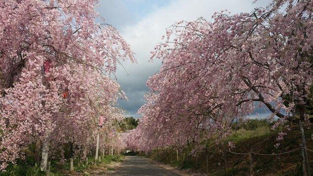 たけべの森公園の桜