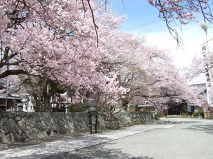 【桜・見頃】妙了寺の桜