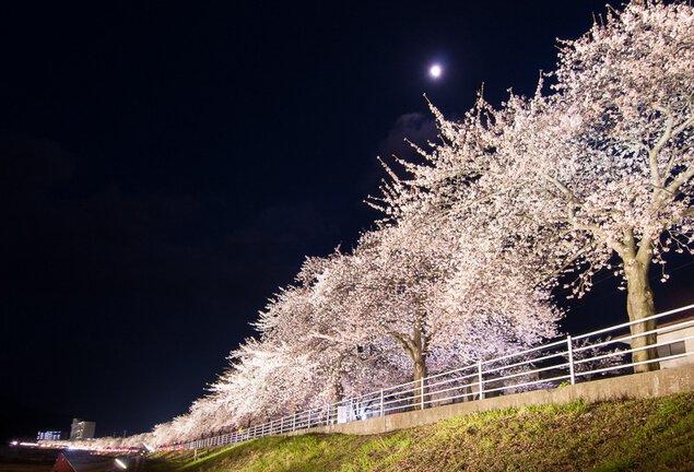 馬見ヶ崎さくらラインの桜