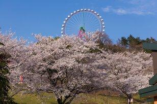 さがみ湖桜まつり2017