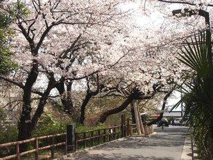 【桜・見ごろ】江波山公園