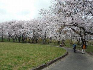【桜・見ごろ】大野極楽寺公園