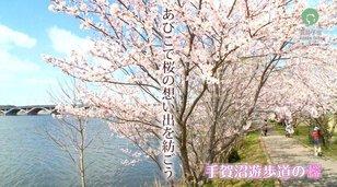 【桜・見ごろ】手賀沼公園、手賀沼遊歩道