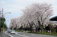東原桜並木