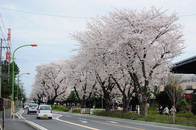 東原桜並木の桜