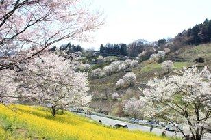 【桜・見ごろ】陸郷夢の郷エリア