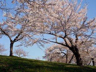 【桜・見ごろ】八郎沼公園