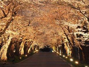 【桜・見ごろ】松前藩戸切地陣屋跡