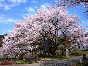 豊丘大桜 観桜会&ひんのべまつり