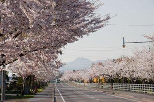 【桜・見ごろ】清川の千本桜